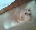 Bougie Pomeranian